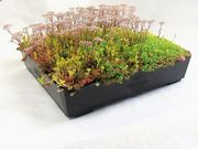 M-Tray SEDUM/Wildflower Green Roof Module 500x500x100mm